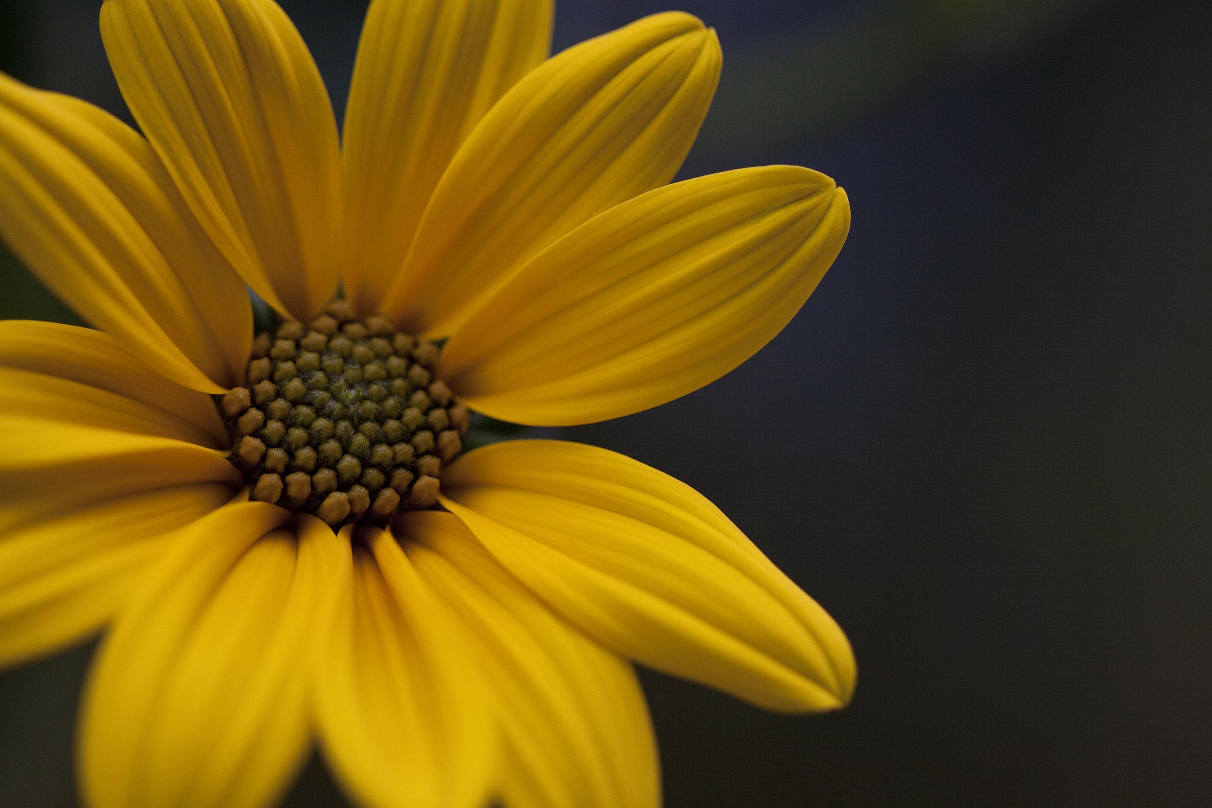 jerusalem artichoke closeup