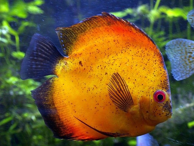 Discus fish documentary breeding discus fish planted for Fish breeding net