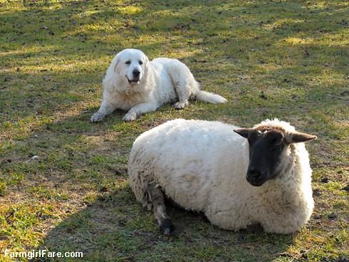 (9) Daisy guarding Cary - FarmgirlFare.com