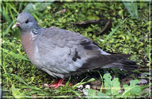 IMG_5057 Stock Dove.jpg