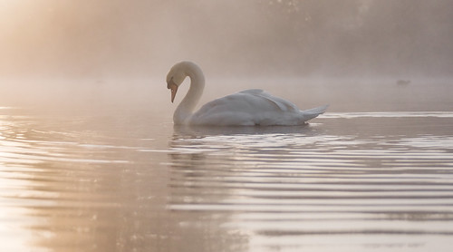 mist lake misty sunrise dawn swan quiet peace tranquility ripples slough berkshire kevday tranquil langleypark