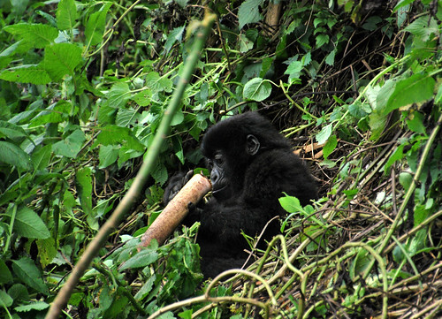 Mountain gorillas eat bamboo in Sub-Saharan Africa
