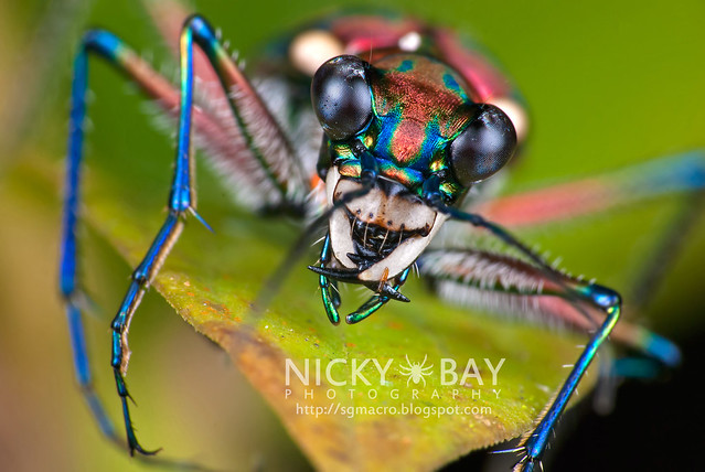 Tiger Beetle (Cicindelinae) - DSC_4819