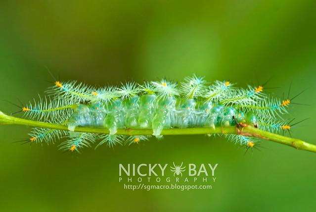 Archduke larva (Lexias pardalis dirteana) - DSC_3945