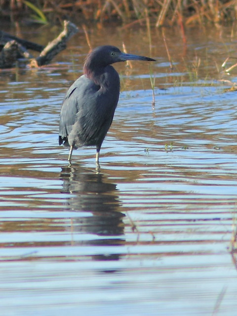 Little Blue Heron 20121125