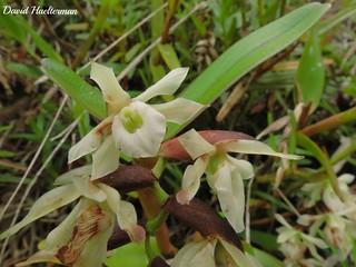 Epidendrum sp., Tapanti Costa Rica
