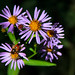 Mountain Asters With Visitors