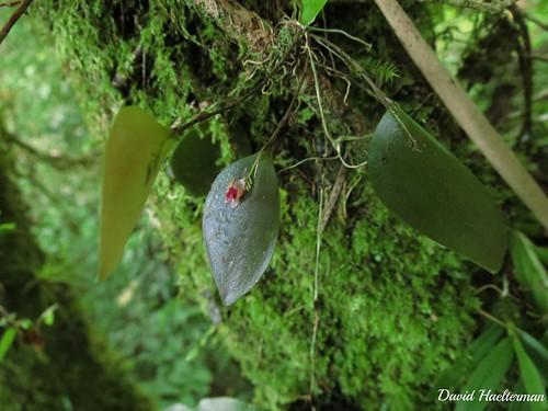 Lepanthes turialvae in situ, Orosi, Costa Rica