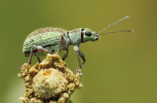 Small Green Leaf  Weevil