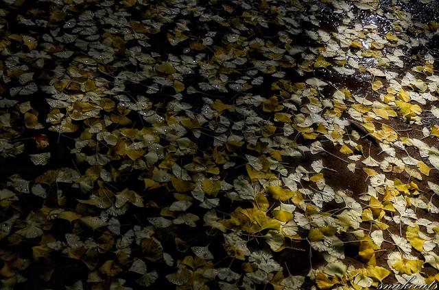「イチョウ落葉」 室生寺 - 奈良