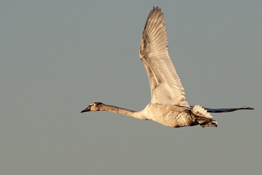 Swan in flight over Pen Ponds, Richmond Park