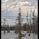 Cypress+Trees+-+Horseshoe+Lake+State+Fish+%26+Wildlife+Area