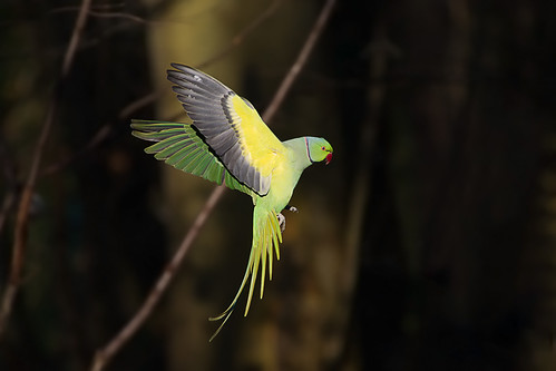Perruche à Collier, Rose-ringed Parakeet