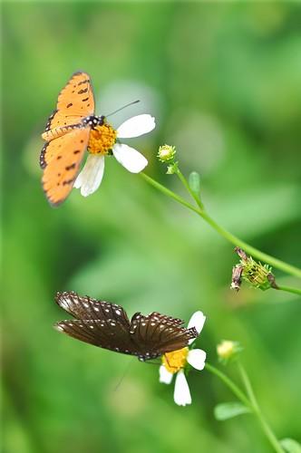 flowers nature singapore butterflies