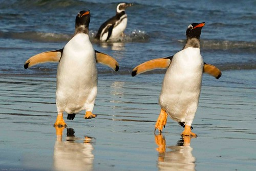 pair of gentoo penguins by Derek Pettersson
