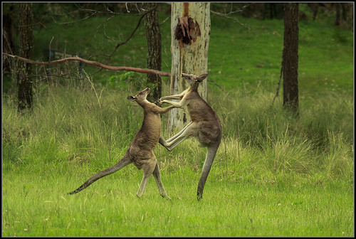 Kangaroo's  fighting