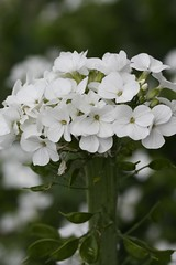 Lunaria annua 'Alba', White-flowered Money Plant