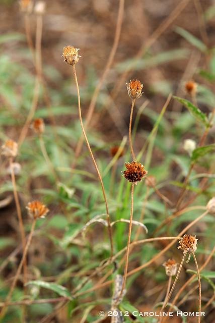 zexmenia seedheads