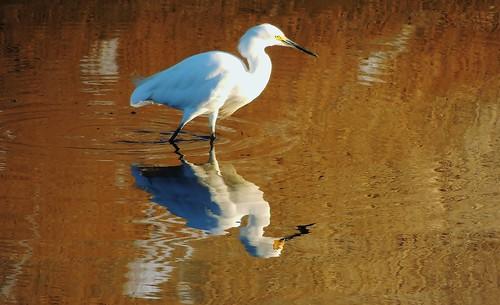 Reflection Snowy Egret