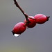 Dog Rose Droplet