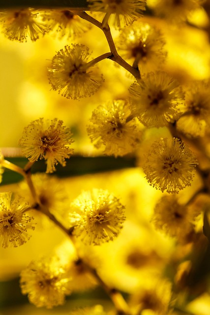 ..wattle you be doing today:)...(apparently i'll be getting explored! Thanks Flickr friends)