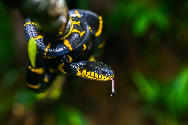 Boiga dendrophila, Mangrove cat snake - Khao Sok National Park