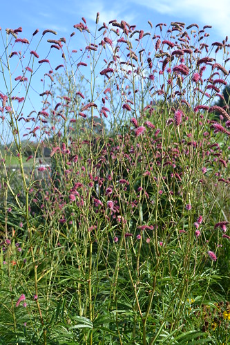 SANGUISORBA 'Pink September'