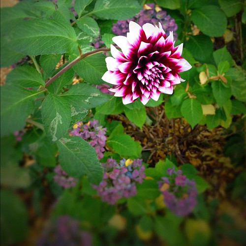 Dahlia as seen on November 6th