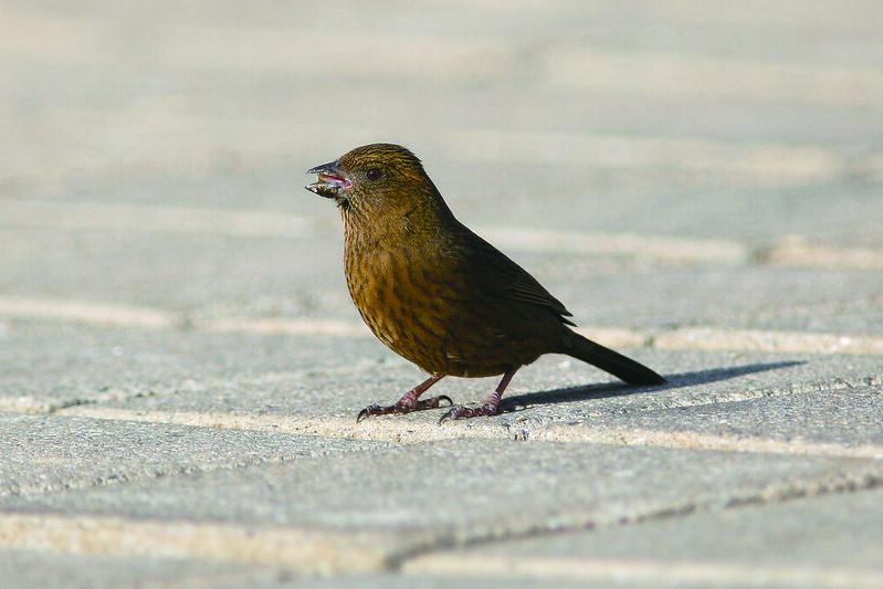 酒紅朱雀(雌) 自然觀察達人養成術