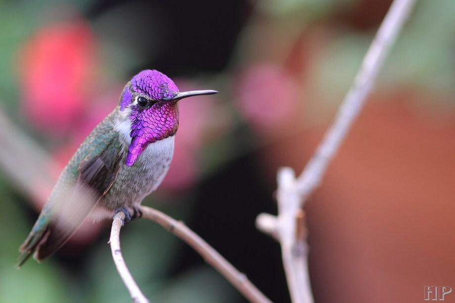 Costa's X Anna's Hummingbird 102212-3