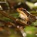 林建鳴_腹斑蛙