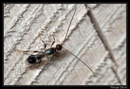 Doryctinae (Hymonoptera/Braconidae)