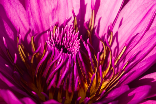 usa flower purple unitedstates 10 unitedstatesofamerica stlouis waterlilies missouri botanicalgarden waterlilly missouribotanicalgarden nymphaeaceae shawsgarden fav10