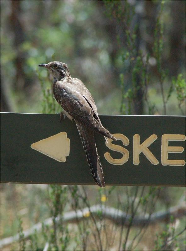 Pallid Cuckoo imm cropped