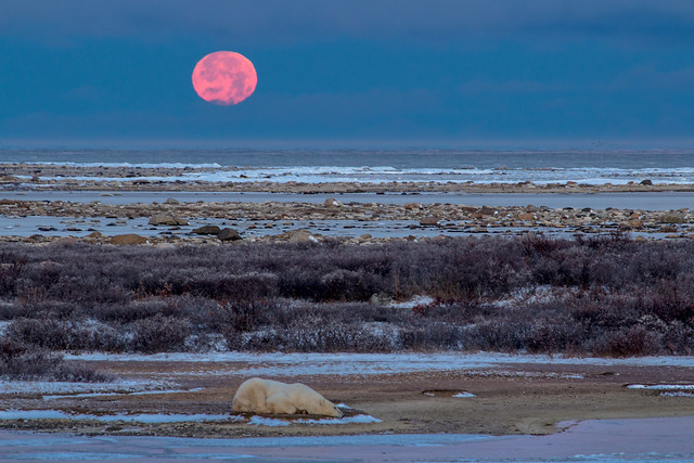 Polar Bear and Setting Moon in Churchill
