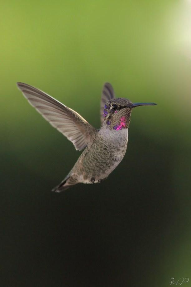 Costa's X Anna's Hybrid Hummingbird 111512-2