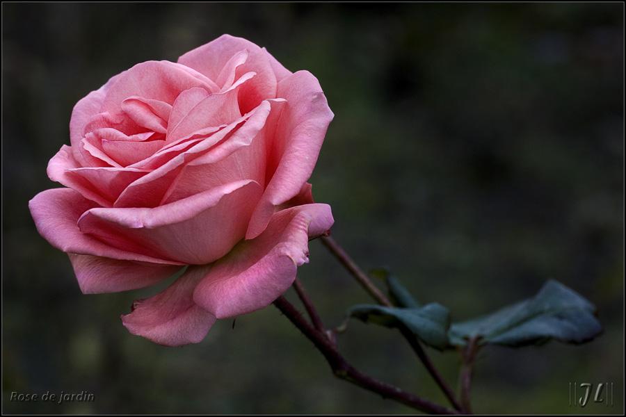 La dernière rose ... 8190056551_418bacc116_o