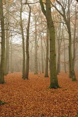 Foggy walk on Marlow Common