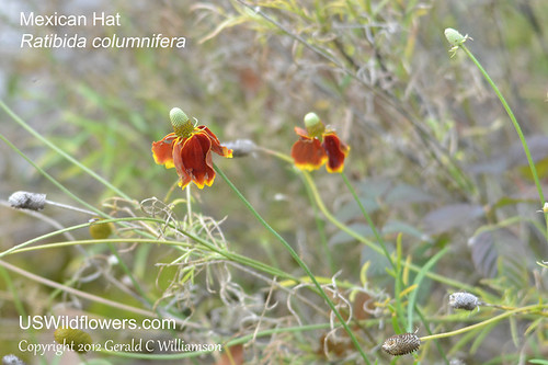 Mexican Hat - Ratibida columnifera