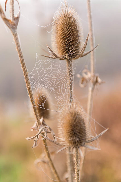 Thistle and Web