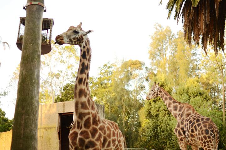 giraffe nom
