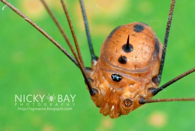 Harvestman (Opiliones) - DSC_4708