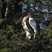 Marabu Storks by Ed Drewitt
