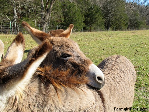 Gus demonstrates the donkey chin rest - FarmgirlFare.com