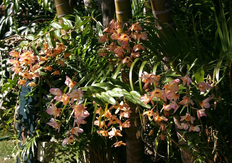 Dendrobium moschatum 2012
