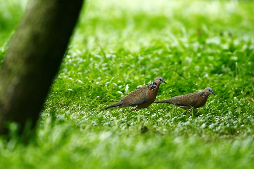 在安全島綠地中求偶的珠頸斑鳩,前面的是雌性,後面的為雄性。  王力平攝