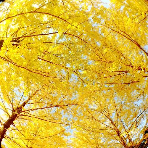 #kouyou #紅葉 #tree #木 #nature #plant #植物 #instagramer #photooftheday #iphoneography #iphoneonly #igshir #webstagram