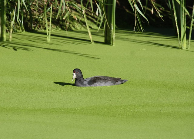 Coot in Green Pond