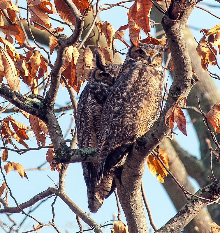 Pair of great horned owls