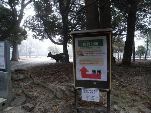鹿寄せ@奈良公園(飛火野)-18